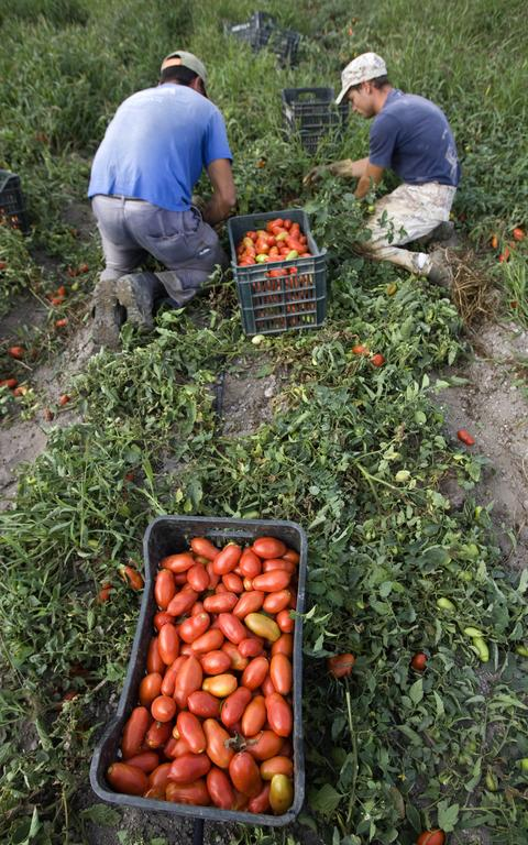 Imigrantes_tomates