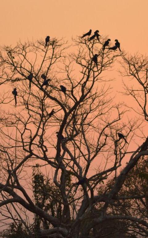 Em pôr-do-sol, árvore está tomada por aves contra luz