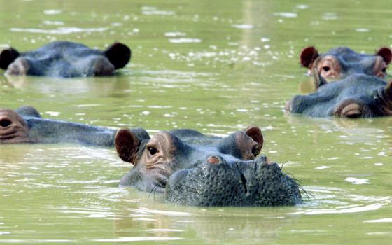 Os riscos impostos pelos hipopótamos de Pablo Escobar