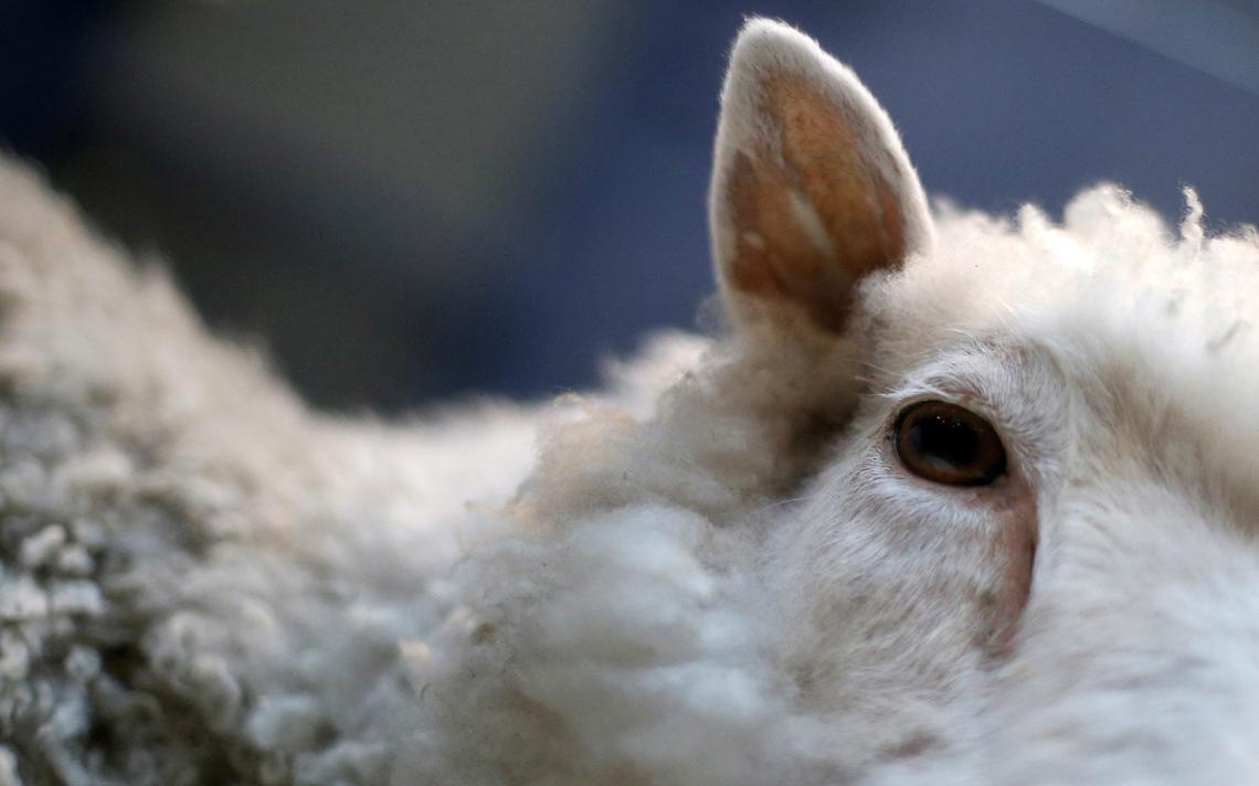 Além de porcos, ovelhas passaram a ser usadas nas pesquisas de criação de órgãos humanos em animais