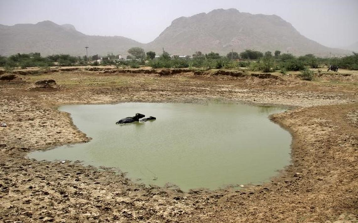 Búfalos em um lago parcialmente seco na Índia em 2015, o ano mais quente da história