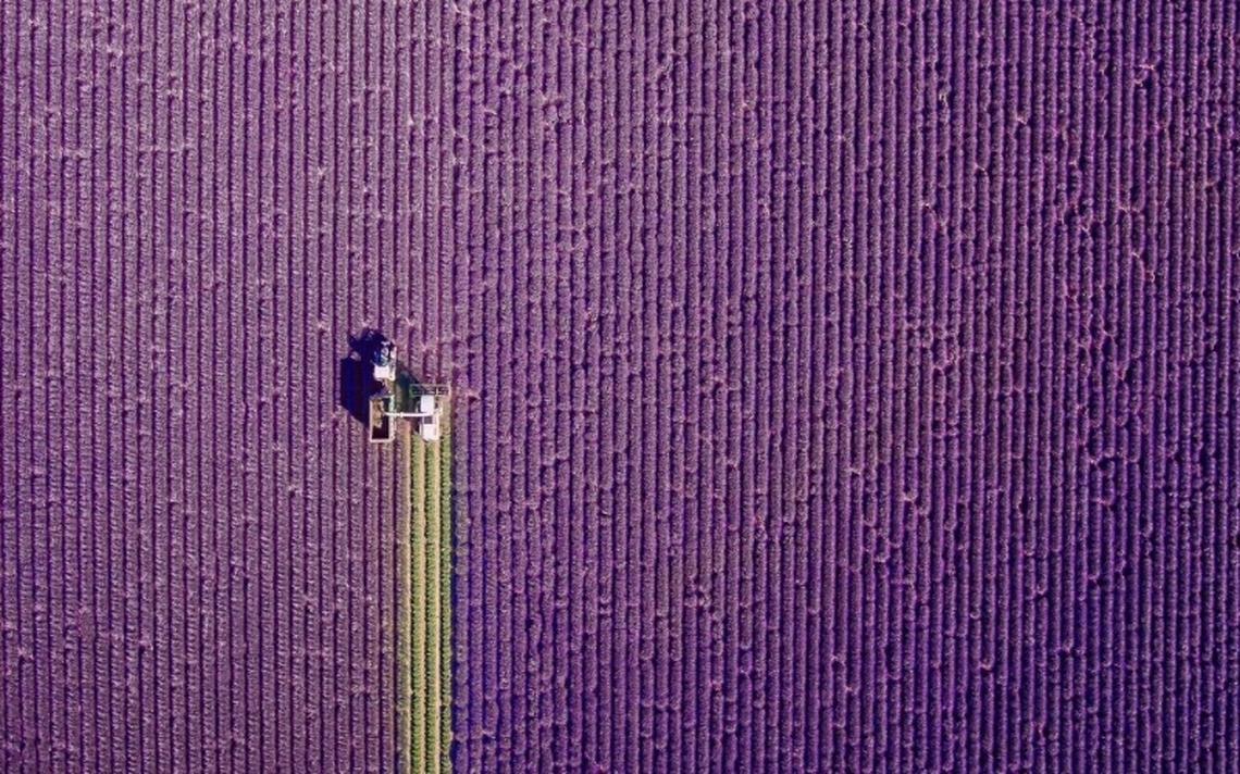 Campos de lavanda na região de Provença, na França