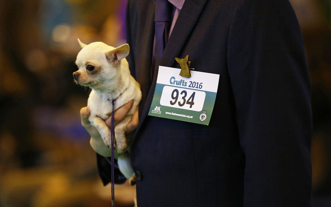 Chihuahua em exibição de cachorros em Birmingham, no Reino Unido, em 2016