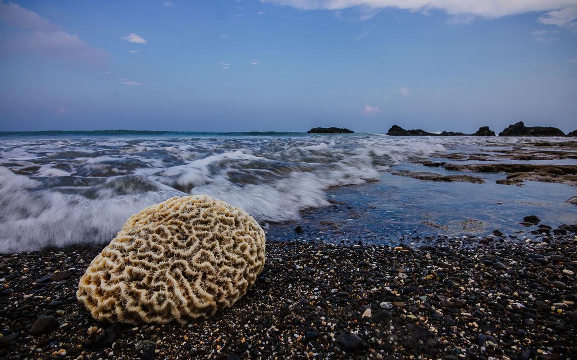 Coral-cérebro (