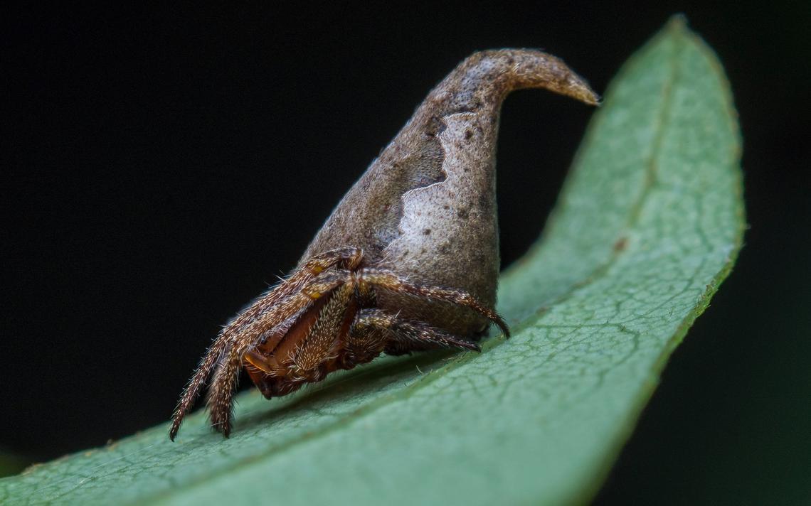 Eriovixia griffindori, aranha batizada em homenagem ao Chapéu Seletor da série de livros Harry Potter