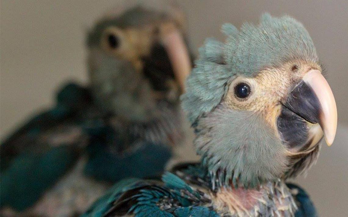 Filhotes de ararinha-azul nascidos em cativeiro do interior de São Paulo em 2014