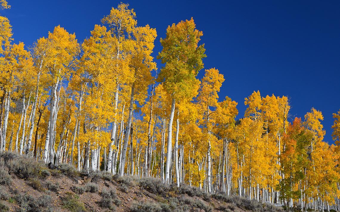 """""""O bosque de uma única árvore"""" fica no Fishlake National Forest em Utah, nos EUA."""