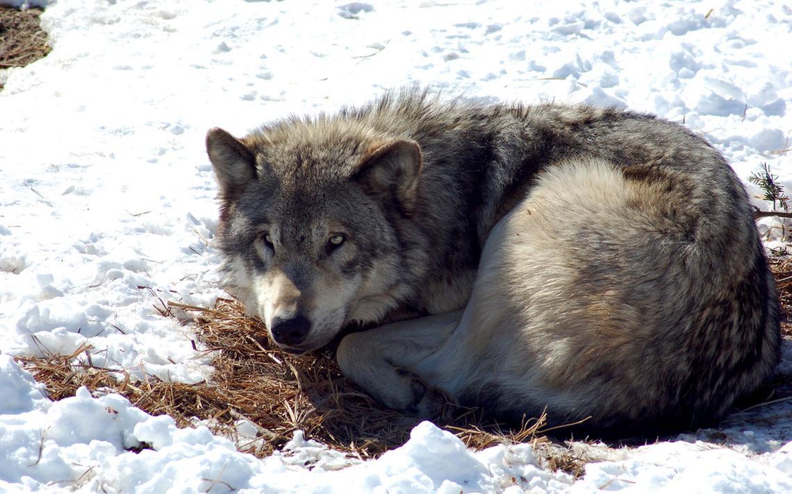 Imagem de lobo europeu. População na Noruega pode diminuir fortemente com caça