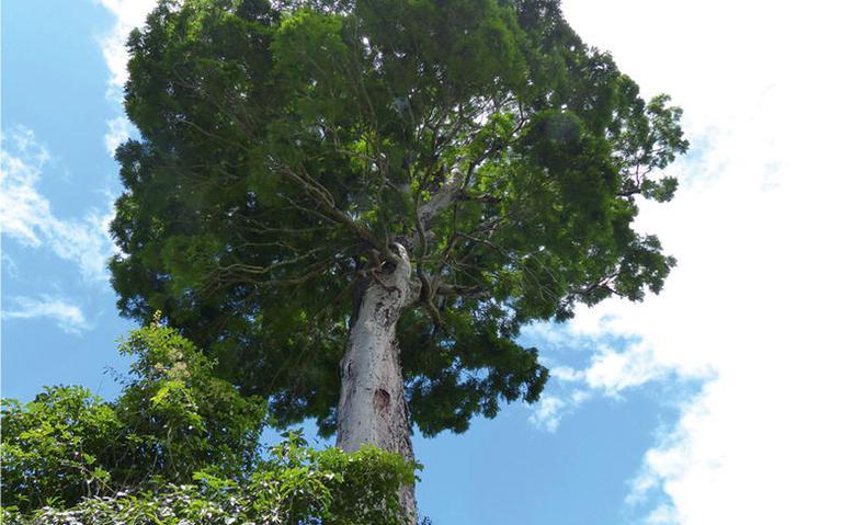 Árvore jueirana facão, que chega a 40 metros