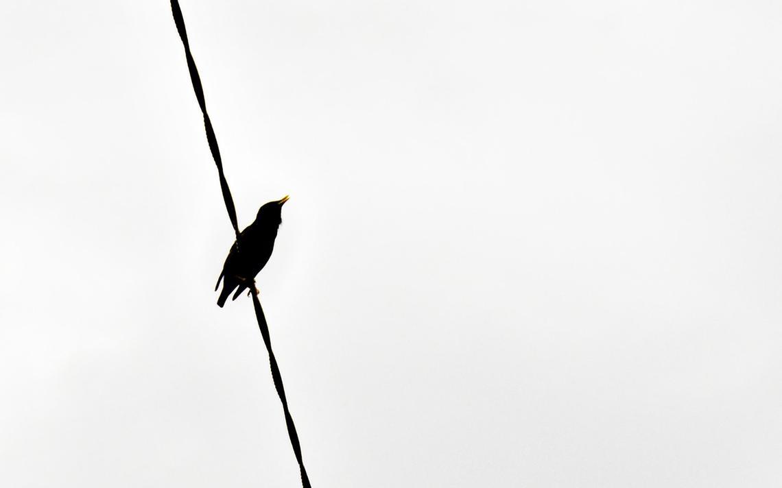 Melro, pássaro cujo canto foi registrado na faixa 'Let Nature Sing'