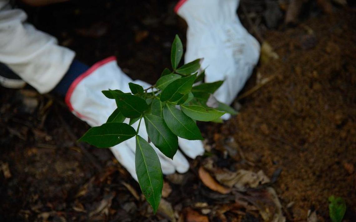 Muda plantada em ação para preservar nascente do Rio Carioca, no Rio de Janeiro