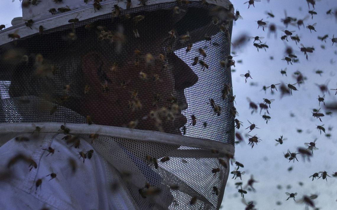 Abelhas produtoras de mel pousam em apicultor em Columbia Falls, nos Estados Unidos, em 2014
