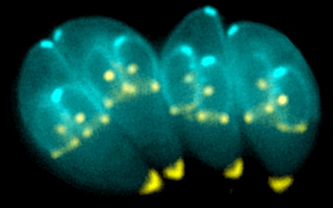 O protozoário Toxoplasma gondii
