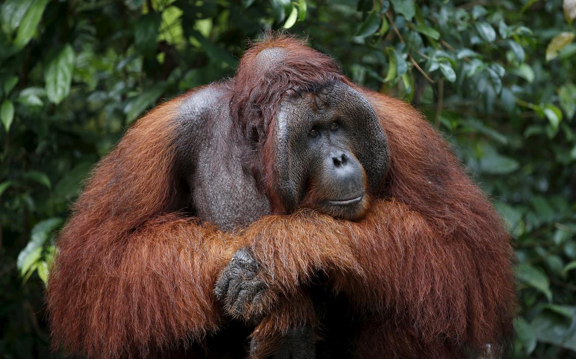 Orangotango, uma das espécies com risco de extinção na Indonésia