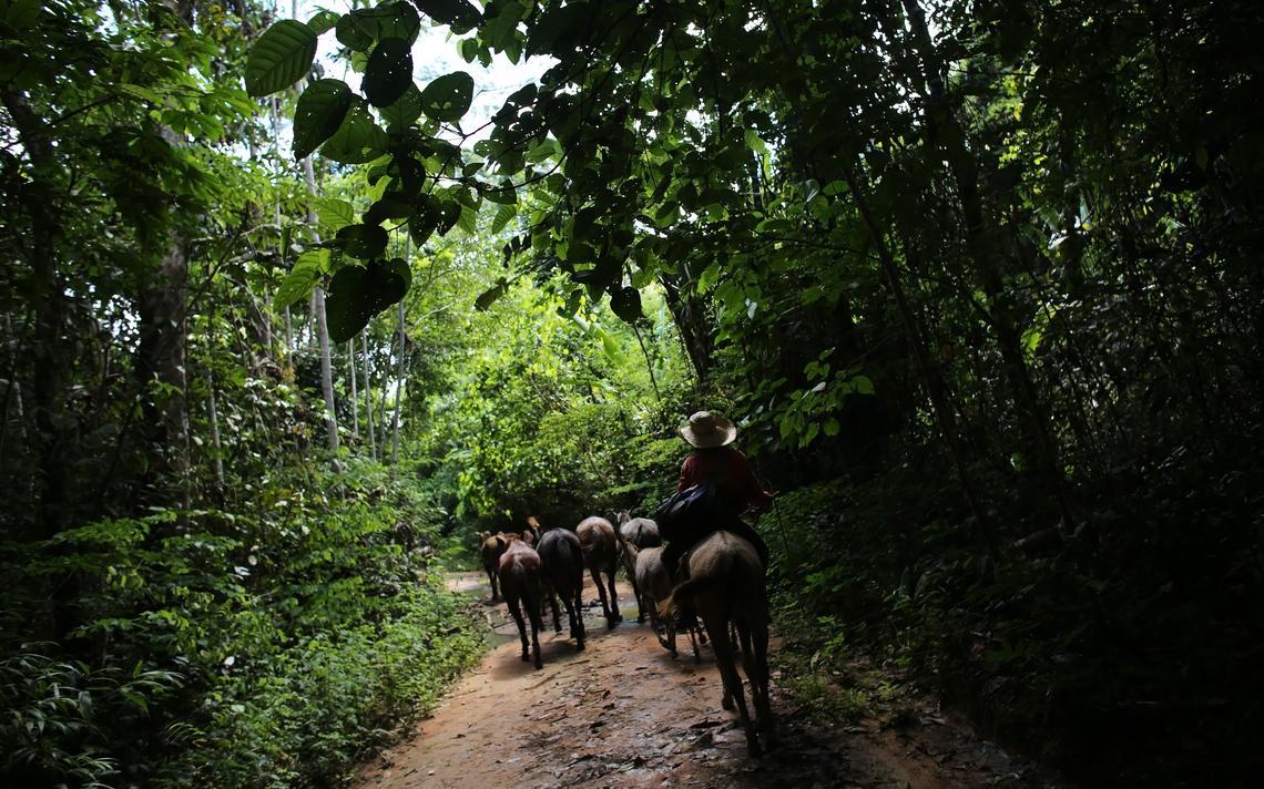 Homem conduz gado em meio à floresta Amazônica no Estado do Pará