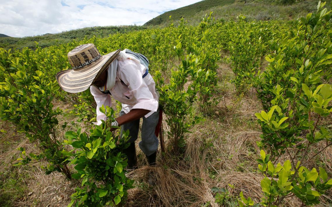 O produtor está curvado, usando chapéu e manejando um pé de coca. Ao redor, uma grande plantação.