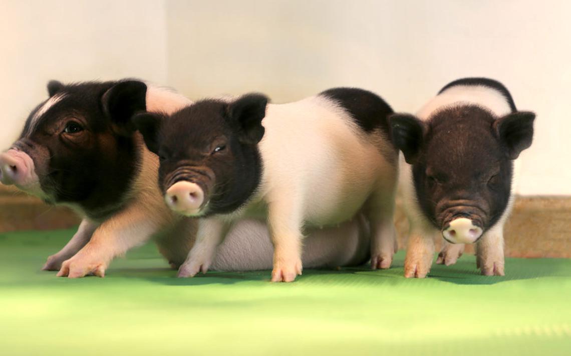 Porquinhas como essas, desenvolvidas pela eGenesis, poderão se tornar fontes de órgãos humanos