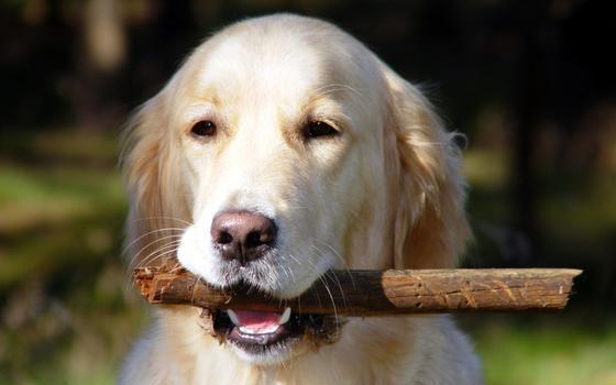 As raças de cachorro que mais despertam interesse no Brasil