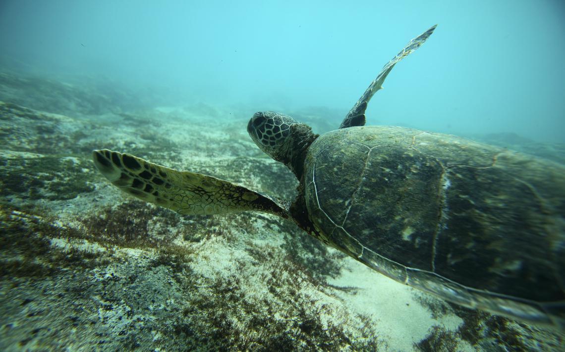 Tartaruga verde nada no Havaí
