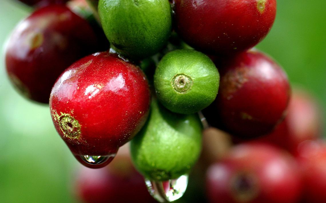 Imagem de plantação de café na Costa Rica com foco em grãos