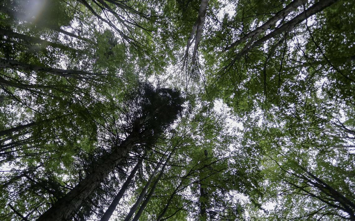 Árvores em floresta na Romênia; pesquisadores afirmam que plantas podem se comunicar