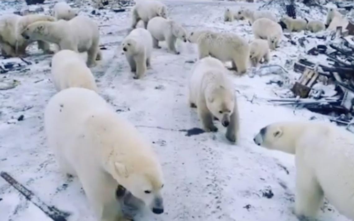 Ursos polares em lixão a céu aberto no arquipélago de Nova Zembla, no Ártico russo