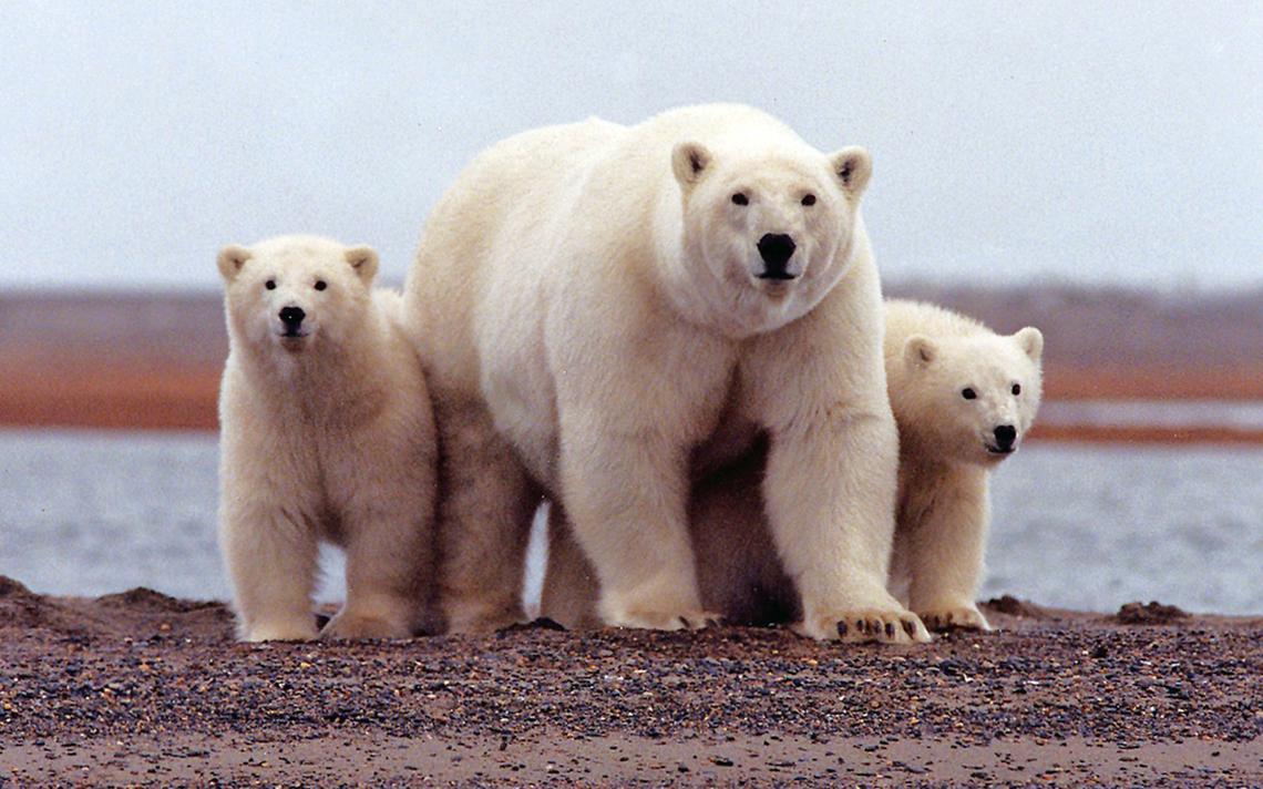 Uma ursa polar se mantém próxima aos seus filhotes no Refúgio Ártico para Vida Selvagem, no Alasca, nos Estados Unidos