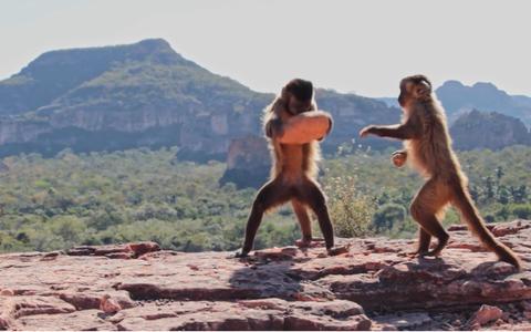 Como a agricultura ameaça uma rara tradição de macacos-prego