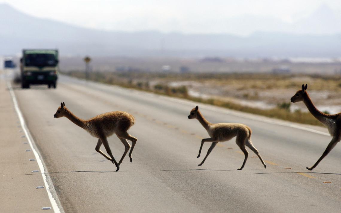 Vicunhas atravessam estrada da Bolívia, em foto de 2008