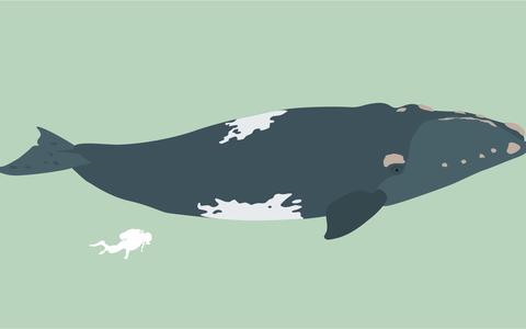 Quais são as espécies de baleias que visitam o Brasil para se reproduzir