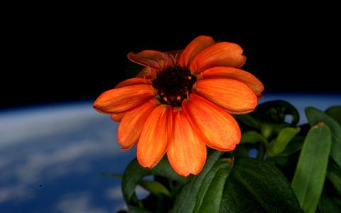 Uma flor cresceu no espaço. Bom para a ciência. E para os astronautas