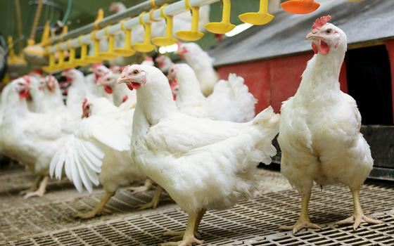 Não há hormônios nos frangos no Brasil, mas há antibióticos, e isso pode ser um problema