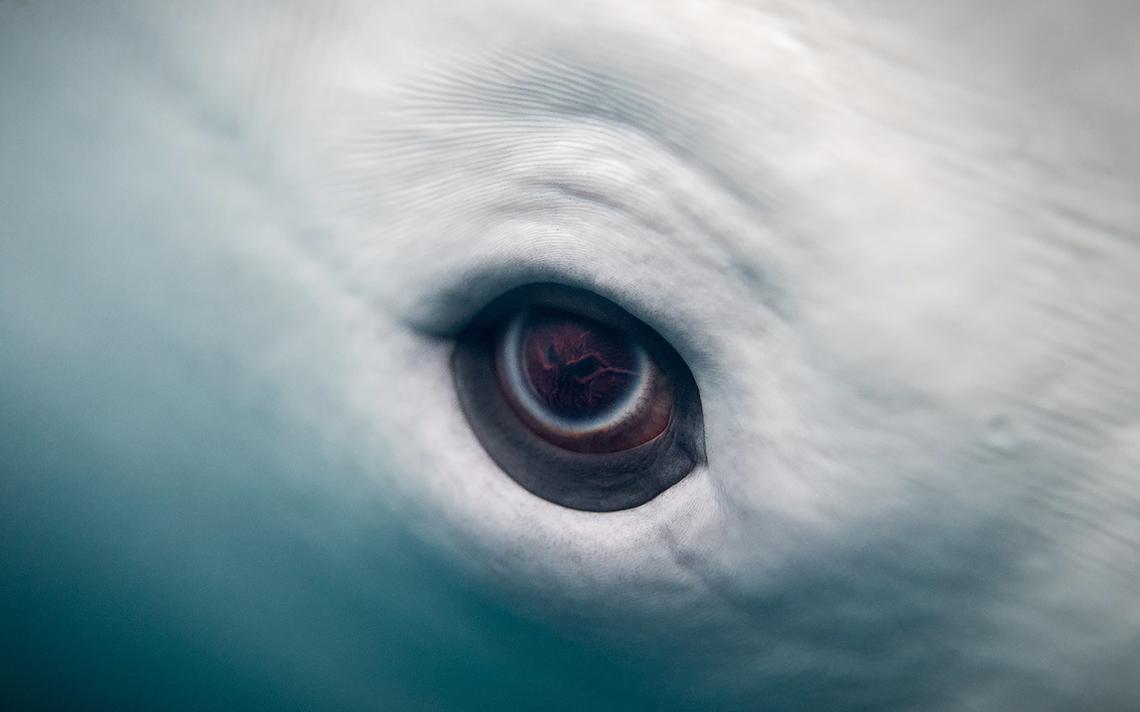 Olho de uma baleia Beluga