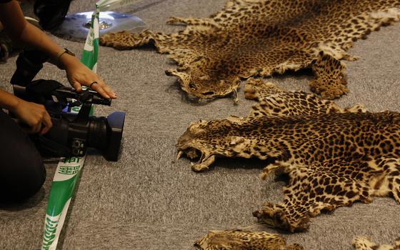 Duas peles abertas com o padrão das manchas dos leopardos, bolinhas pretas em uma pelagem amarronzada e amarelada. À esquerda, braços de um jornalista ajeitam câmera que filma as peles