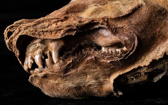O que a múmia de lobo mais antiga revela sobre a espécie