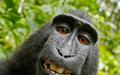 Afinal de contas, a macaca Naruto tem ou não direitos sobre sua selfie?
