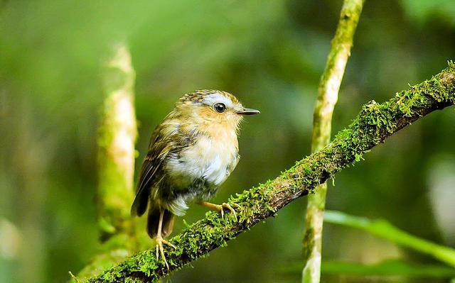 Um pássaro pequeno, nas cores branca, amarela, marrom e verde, está pousado sobre um galho.