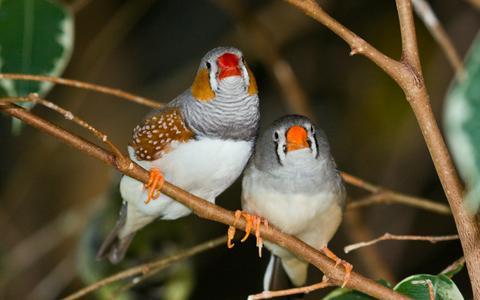 Estes pássaros adoram discutir sobre seus filhotes