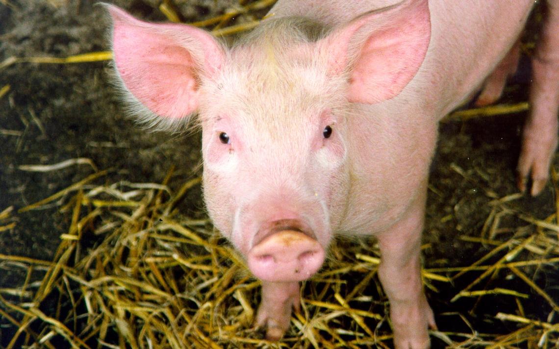 Cientistas estão desenvolvendo técnicas para criar órgãos humanos em porcos