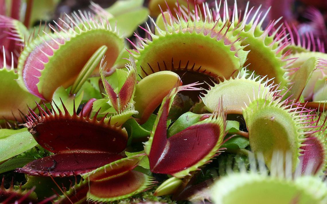 Dionaea muscipula, uma espécie de planta carnívora