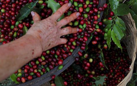 Como o agronegócio estimula o apagamento de cafeicultoras