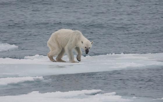Por que ursos polares podem se tornar extintos até 2100