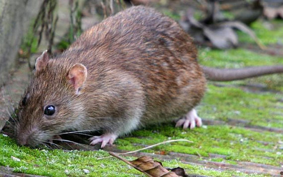rato geórgia do sul