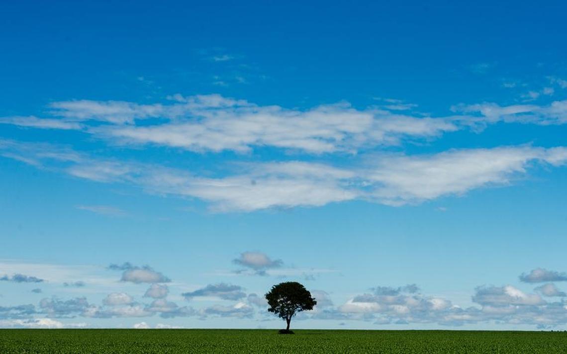 Árvore em meio a plantação de soja em Colniza, no Mato Grosso