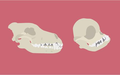 Do lobo ao pug: as alterações genéticas em cães ao longo da história