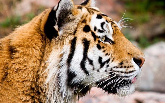 População de tigres selvagens aumenta pela primeira vez no mundo