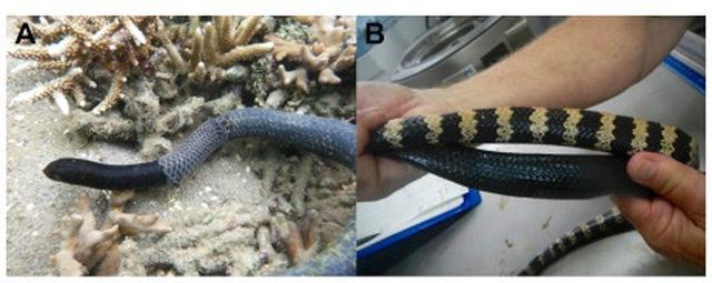 Emydocephalus annulatus com pele escurecida à esquerda, e com anéis brancos, à direita